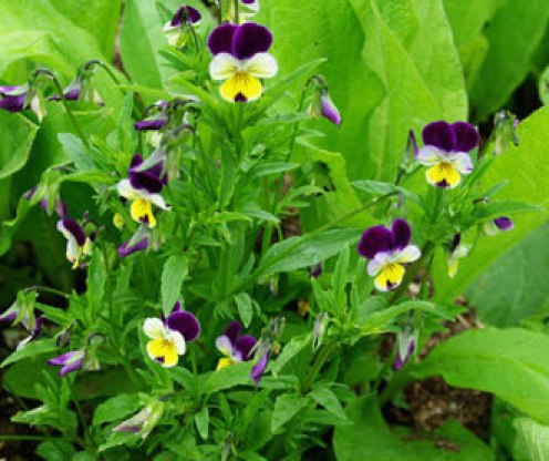 Heartsease Herb