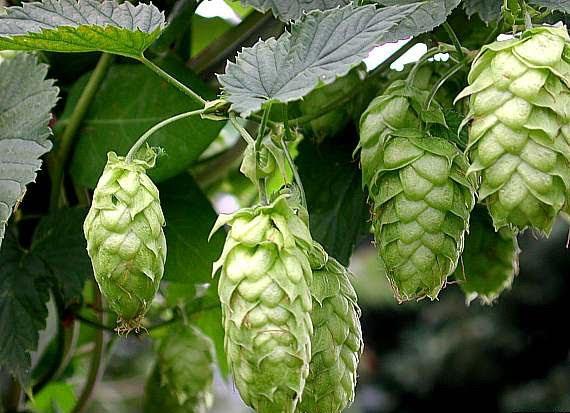 Hops Herb