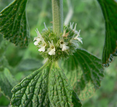 Horehound Herb