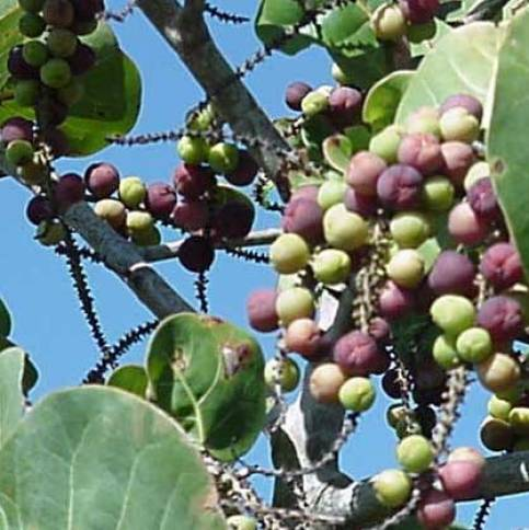 Sea Grape