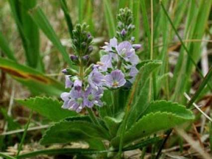 Speedwell Herb