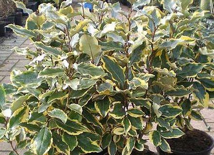 Elaeagnus Herb