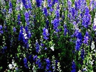 Larkspur Herb