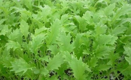 Mizuna Vegetable