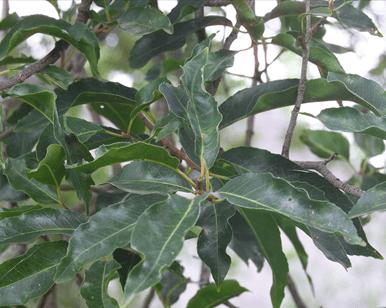 Pygeum Herbal