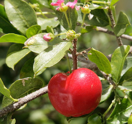Acerola Fruit