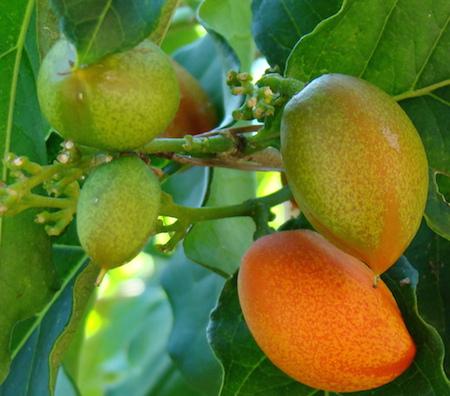 Bunchosia Fruit