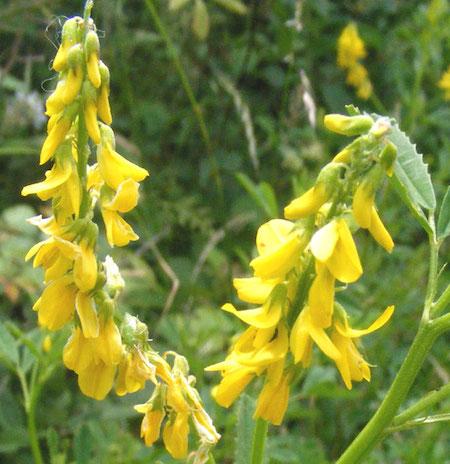 Melilot Herb