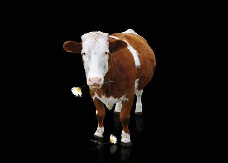 cow-1329725__480