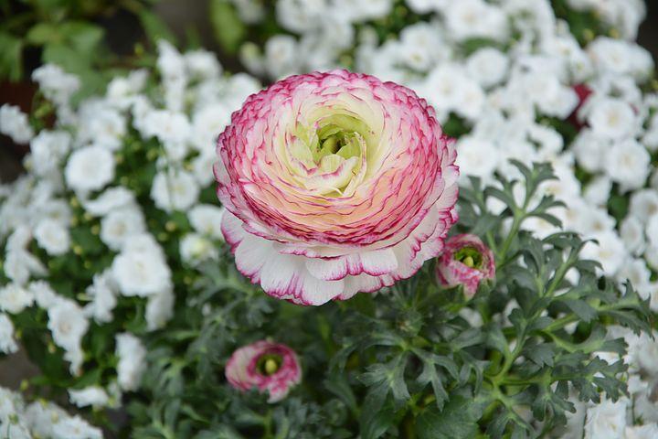 White Looking Ranunculus flower