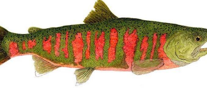 masu-salmon1