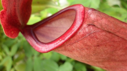 carnivorous-plant-454955__340