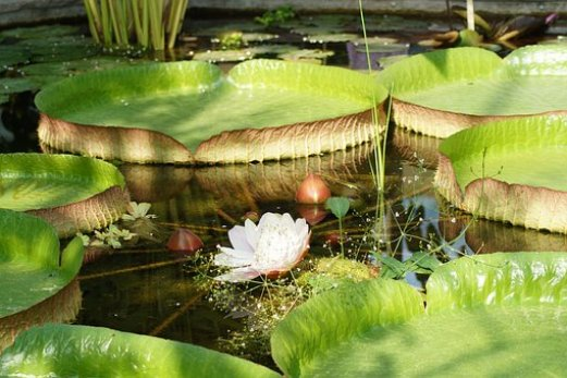 water-lily-3975828__340