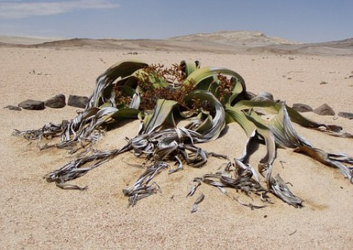 welwitschia-mirabillis-49479__340