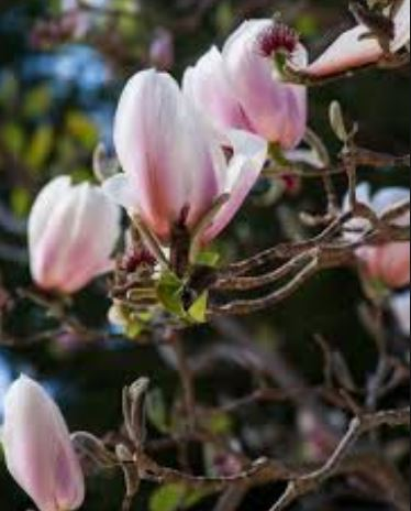 Magnolia-Amoena