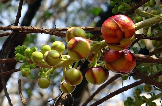 cannonball-tree-332615__340