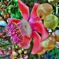 cannonball-tree-436594__340
