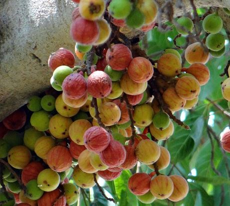 cluster-figs