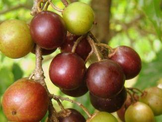 governor's-plum