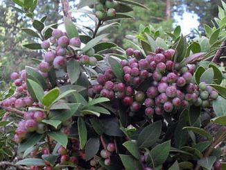 andean-berry