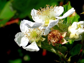 blackberry-88397_960_720
