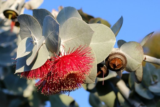 eucalyptus-3410621_960_720