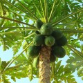 papaya-papaya-243241_960_720