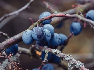 sloes-3903572_960_720