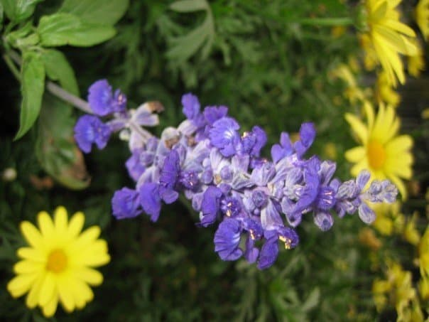 A purple flower blossom with yellow flowers in the background.