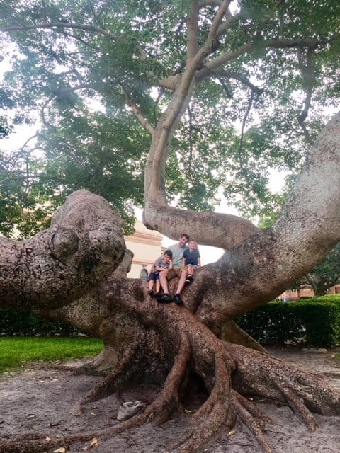 Dad and two boys climb a massive tree during family travel.