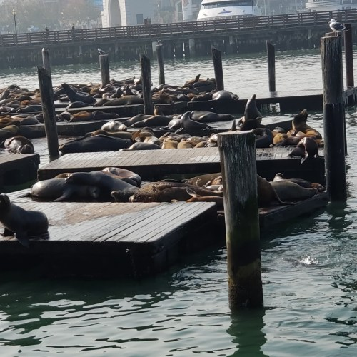 PIER SAN FRANCISCO SEA LIONS