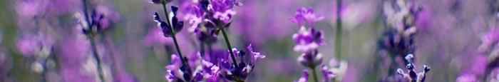 lavender plant for essential oil