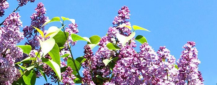 indian lilac for boils