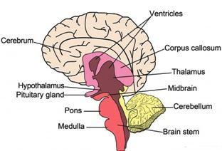 brain parts in hindi