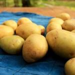 Kartoffeln - meine große Liebe