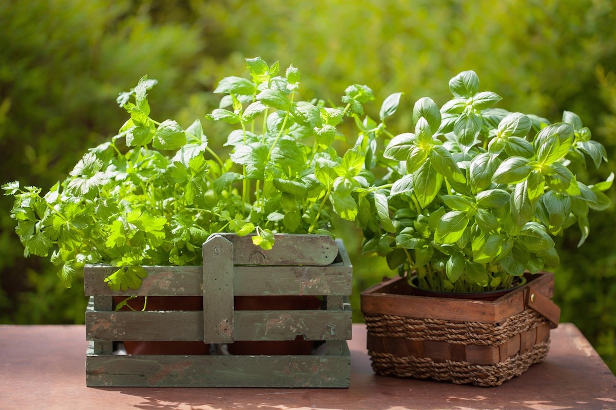 Grow your own fresh herbs including mint, basil, parsley, and others