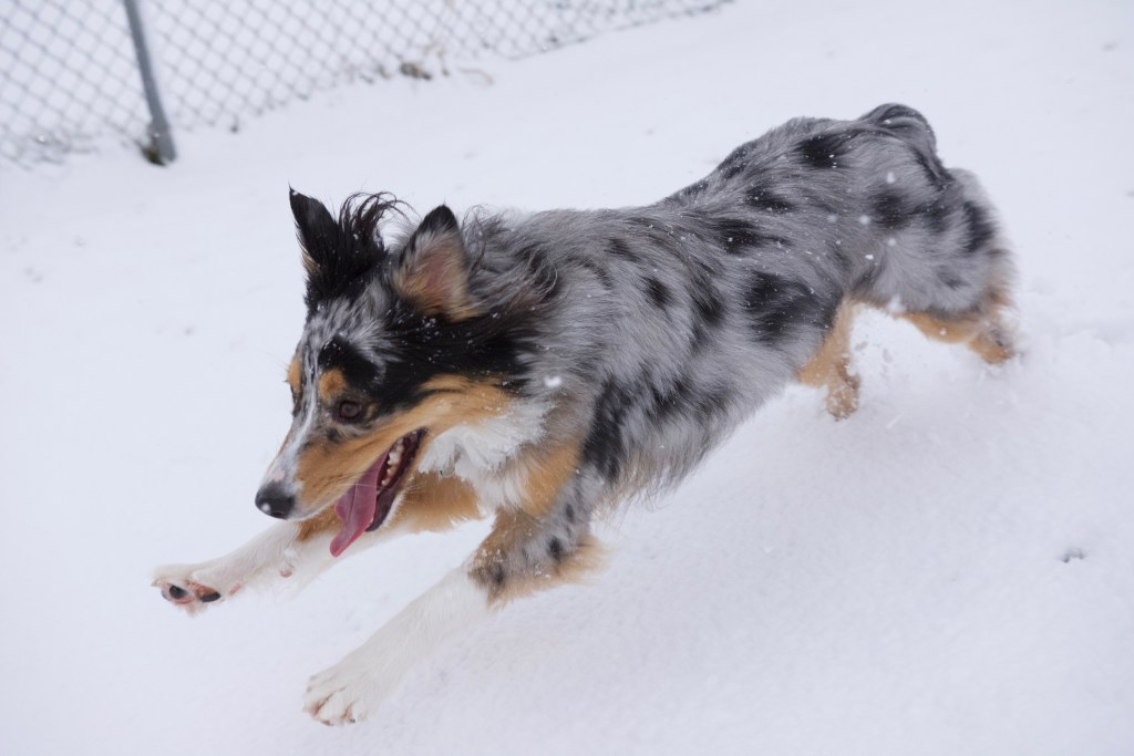 Dog running in snow.