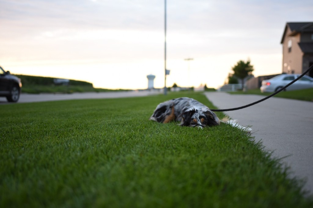 dog on grass next to sidewalk in North Liberty.