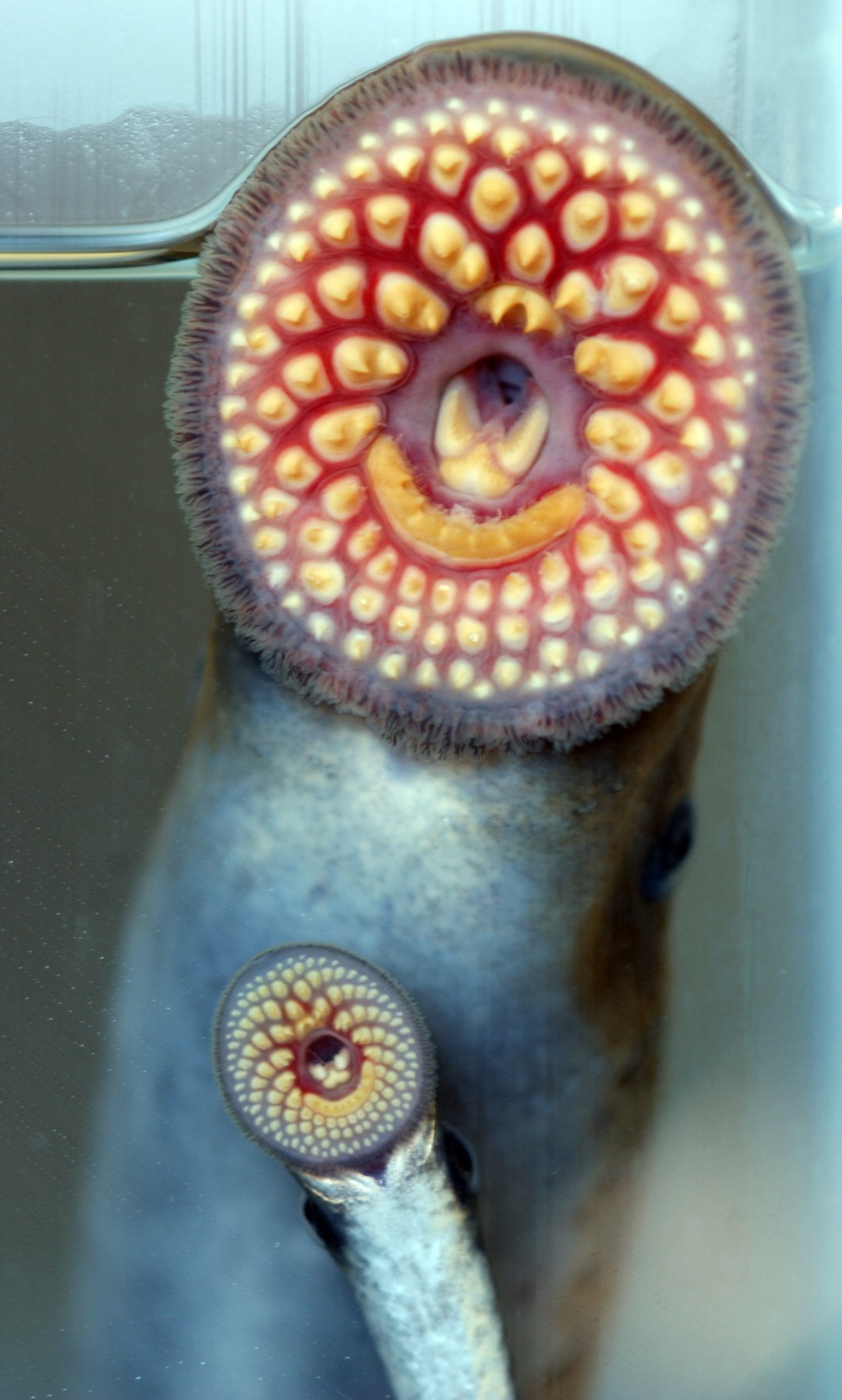 Sea lamprey show off their rows and rows of teeth.