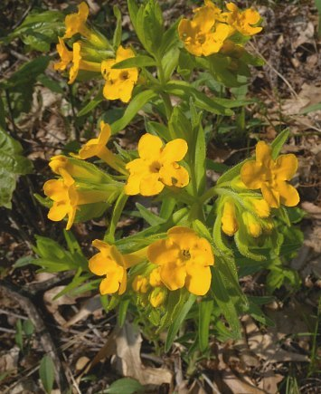 The hair puccoon flower is native to the dune ecosystem.