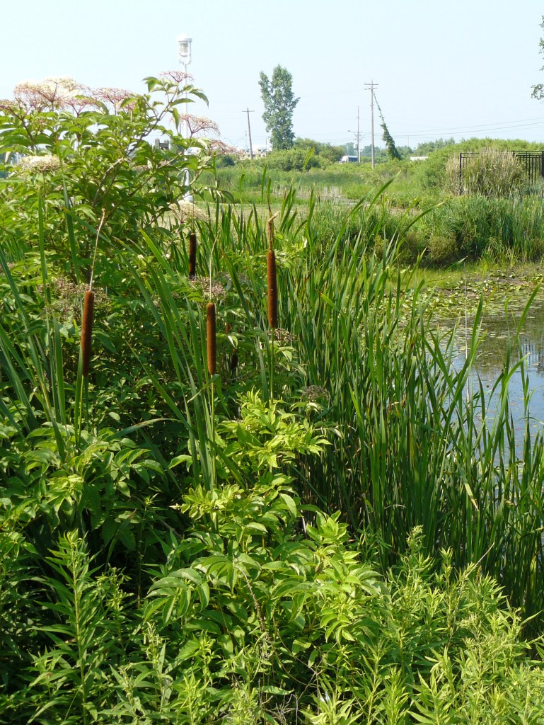 Wetland in Michigan with native plants in the foreground.