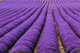 Lavender Oil for Migraine Headache