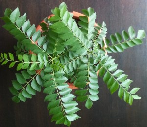 Curry leaf has many uses in Ayurvedic medicine