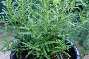 Rosemary can help to prevent cancer