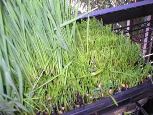 day-eight-of-wheatgrass-growing-and-wheatgrass-harvest-period