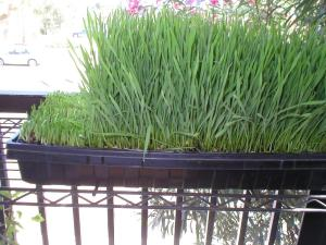day-seven-of-wheatgrass-growingand-harvest-cycle