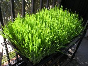 day-six-of-wheatgrass-growing-cycle