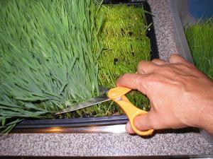 wheatgrass-harvesting