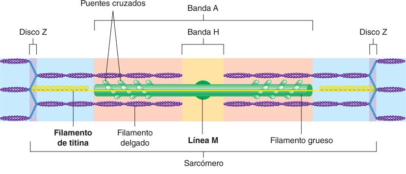 Sarcómera
