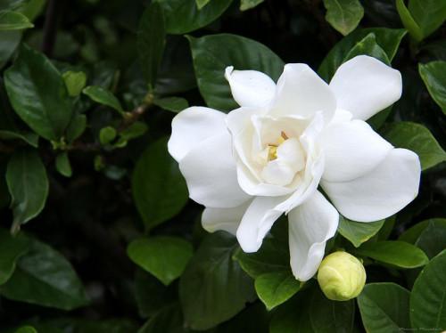 Gardenia - MauricioMercadente